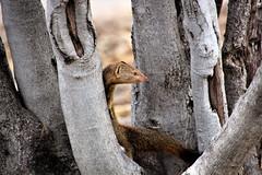 Slender Mongoose (Herve Tainturier) Tags: mongoose