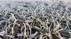 Winterliche Wiese (perunasose) Tags: winter raureif wiese gras