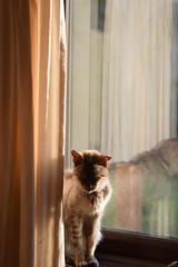 Raj - The Pre-Millennial Cat (Jason Shorten) Tags: natural subtlelight reflection warmsun basking loved age feline nopeople bengal cat domestic premillennial 1999 warmth window nikon d5300 sigma 70300mm old ancient raj insight