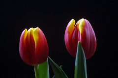 IMGP0920 Tulips (tsuping.liu) Tags: outdoor organicpatttern flower blackbackground blooming red redblack plant photoborder perspective petal lighting nature natureselegantshots naturesfinest pattern passion photographt photoboder p