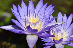 Queen of Siam! (ineedathis,The older I get the more fun I have....) Tags: waterlily starofsiam lily nympaea νουφαρο flowers nikond750 tropical exotic beauty pond nature water garden summer aquaticplant plant lilypads blossom petals blue yellow pistil outdoor bokeh macro