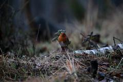Giornata piovosa... (carlo612001) Tags: robin pettirosso birds uccelli uccello bird bosco wood forest rain pioggia wildlife