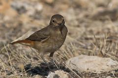 Common Redstart (keynowski) Tags: commonredstart kızılkuyruk phoenicurusphoenicurus nature ngc animalplanet animal bird canon70d canonef400mmf56lusm