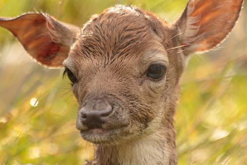 Bambi Portrait