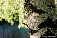 Birkenstamm in der Abendsonne (grafenhans) Tags: zeiss sony pflanze carl l 55 wald baum rinde slt birke abendsonne heidesee 35135 grafenwald slt55