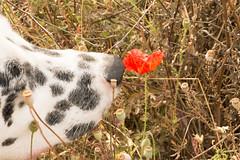 Photo bomb! (Rosie Gosden) Tags: flowers dog photo dalmation poppy bomb