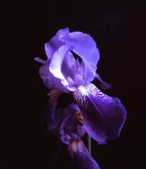 Iris of my garden. Pinhole. (Dguyz) Tags: flower film fleur diy fuji slide pinhole velvia fujifilm 4x5 velvia100 homemadecamera stnop stenopeica diypinhole