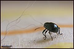 Little Bug Quest (drlopezfranco) Tags: strand bug insect walking alone little guatemala yarn solo soledad hilo bicho pequeño caminando insecto mazatenango suchitepequez