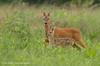 Ever vigilant (hvhe1) Tags: netherlands animal wildlife young mother doe fawn bambi roedeer reh chevreuil vigilant capreoluscapreolus tonden specanimal hvhe1 hennievanheerden reekalf reegeit grootbreembroek