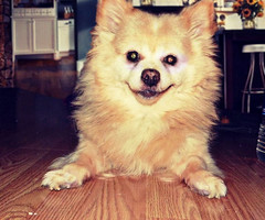 Happy little man (Cherry_sunshine) Tags: family pet baby chihuahua dogs puppy fur happy puppies fuzzy sweet fluffy pup pomeranian cutedogs mixedbreed furbaby pomeranians cuteanimals hybred smallbreed chihuahuamix mixbreed pomchi cutestdogs mixedbreeddogs smallbreeddogs indoorpets