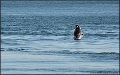 Baby J50 Breaching (Selena Rhodes Scofield Photography) Tags: ocean wildlife whale whales orca sanjuanislands killerwhale orcinusorca jpod sji blackfish salishsea srkw selenarhodesscofieldphotography