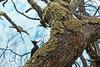Magellanic woodpecker (Campephilus magellanicus), Perito Moreno glacier, Argentina (Miche & Jon Rousell) Tags: chile blue red patagonia white snow black green ice southamerica argentina clouds woodpecker turquoise glacier andes lagoargentino elcalafate peritomorenoglacier magellanic losglaciaresnationalpark campephilus magellanicus campephilusmagellanicus magellanicwoodpecker