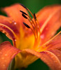 (theresa.brown1976) Tags: life flowers orange plants plant flower color macro nature floral colors beautiful beauty yellow gardens closeup canon wonderful garden outside outdoors living petals drops amazing flora colorful soft pretty lily close blossom outdoor earth blossoms nopeople petal lilies earthy dew simplicity stunning droplet alive lovely elegant simple upclose majestic raindrop naturewalk macrophotography planetearth livingthings floer beautifulearth canonphotography prettypetals macrolearning
