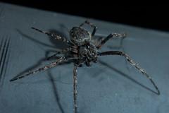 Survivor (Procrustes2007) Tags: uk england male spider suffolk britain arachnid flash nikond50 sudbury invertebrate closeuplens nucteneaumbratica walnutorbweaver nikkorafs1855dx d50nocturnalmacro gridreftl883407