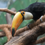 "Toucan • <a style=""font-size:0.8em;"" href=""http://www.flickr.com/photos/28211982@N07/19765635522/"" target=""_blank"">View on Flickr</a>"