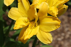 Lilies in my Garden (Saline, Michigan) (cseeman) Tags: flowers yellow garden michigan lilies saline maize