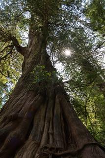 A Thousand Years of Cedar