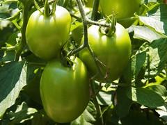 viva Italia-green (MissyPenny) Tags: food plants green garden pennsylvania tomatoes edible buckscounty vivaitalia plumtomatoes bristolpennsylvania