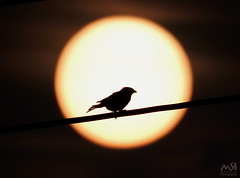 Nikon coolpix P900. Atardecer Sierra Calderona. Agosto 2015 (MSB.Photography) Tags: sunset sun sol backlight contraluz atardecer nikon p900 sparrow coolpix passerdomesticus gorrión superzoom sierracalderona gorrioncomún