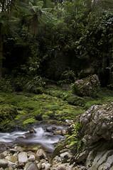 Opara Valley 3 (Pete Prue) Tags: park trees newzealand green creek forest walking moss bush stream native hiking national southisland ferns westcoast tramping treefern kahurangi peteprue