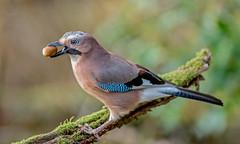 DSC6847  Jay.. (jefflack Wildlife&Nature) Tags: jay jays countryside corvids birds avian animal wildlife wildbirds woodlands farmland forest hedgerows gardenbirds parks parklands nature