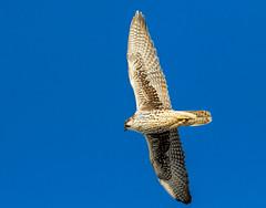 Prairie Falcon Flyby (edmason88) Tags: prairiefalcon flyby albertaterminals cold tamron150600 edmonton alberta
