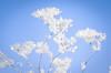 Eisblumen / ice flower (Daniel Stroebel) Tags: kalt eisblume winter kälte gefroren weis schnee natürlicheslicht natur vorhandeneslicht eis nikon d7000 deutschland bayern eiskristalle temperatur jahreszeit tiefenschärfe bokeh unschärfe blume pflanze cold whitefrost frozen white snow naturallight natural availablelight ice germany bavaria icecrystals temperature season depthoffield blur flower plant