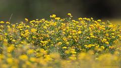 Full amarillos en Mantagua (Cristian Becker) Tags: mantagua humedal d810 nikkor nikon 300mmf28 tc17eii