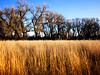 136/365 Sea of grass (fotovivo / peevish me) Tags: 365 postaphotoaday grass trees bluesky golden dried winter fotovivo nearandfar colorado field waistlevel fauxlomo