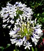 Agapanthus Queen Mother (Nelson~Blue) Tags: agapanthus queen mother queenmother