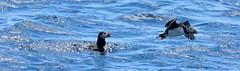 Puffins (Trevdog67) Tags: puffin seabird witlessbay ecologicalpreserve baybulls newfoundland canada nikon d7100 nikkor 18300mm