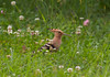 Upupa-Hoopoe (davidesantiano) Tags: uccello uccelli uccellini erba verde upupa hoopoe elegante estate erbetta becco lungo giardino luce luci foto fotografia fascino wild wow wallpaper wildlife artistica allaperto arte animali volatile volatili bird birds home cute canon nikon colourful crown