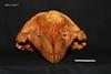 skull 2 front (JRochester) Tags: rissos dolphin grampus griseus skull nmsz199377