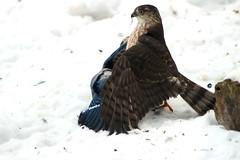 The hawk flew off hungry (Salamanderdance) Tags: bird sharp shinned hawk raptor feeding mantle mantling food chain eating feeder birds eat