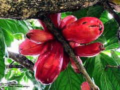 Syzygium malaccense - Malay Apple (Black Diamond Images) Tags: syzygium syzygiummalaccense myrtaceae malayapple australianrainforestplants arfp cyrfp qrfp dryarf galleryarf lowlandarf tuncurry nsw arffs redarffs australianrainforestfruits australianrainforestseeds rainforestfruits rainforestseeds syzygiummegacarpum