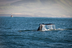Flipper (terrencechuapengqui) Tags: whale watching iceland húsavík
