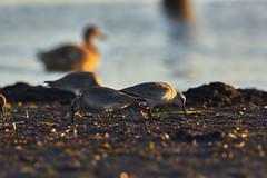 Ahrenshoop auf dem Darss (Basel101) Tags: deutschland urlaub see ostsee darss prerow ahrenshoop strand vogel vögel erholung baden segeln sonnenaufgang zugvögel bernstein