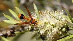 Potter Wasp (blachswan) Tags: wetland wetlands mullahwallahwetlands mullahwallah winterswamp ballarat victoria australia wasp potterwasp