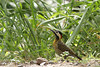 Pic vert et noir (Aymeric Mousseau) Tags: argentina reservaecologicacostanerasur buenosaires picvertetnoir colaptesmelanochloros greenbarredwoodpecker