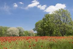 Le joli mois de mai *---- ° (Titole) Tags: field poppies trees bluesky landscape clouds titole nicolefaton