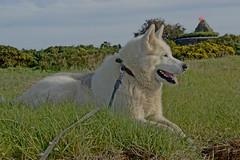 alaskan malamute grune point (feddonmel) Tags: grune point malamute