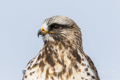 Rough Legged Hawk closeup