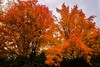 Awesome fall maple (vinnie saxon) Tags: trees maple nature fall autumn red season leaves nikoniste nikon