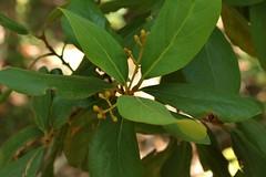 Persea lingue (Ruiz & Pav.) Nees (Carlos Ivovic O.) Tags: florachilena plantasmedicinaleschilenas florachilenanativa floradeantuco lingue lauraceae