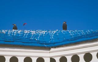 Larosterna Inca II / Inca Tern II