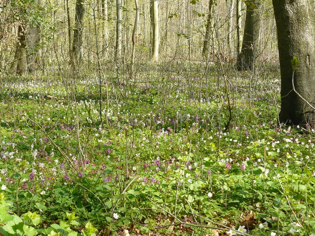 Corydalis cava- Hohler Lerchensporn3