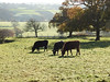 The gift of today (Lancashire Lass :) :) :)) Tags: countryside cattle cows field frost trees grass mist morning november autumn winter fence quote shadows sunshine