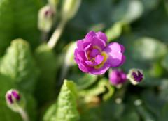 Unfolding Primula (Jaedde & Sis) Tags: spring primula unfolding dof