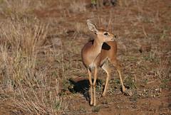 Steenbok (crafty1tutu (Ann)) Tags: travel holiday 2016 southafrica africa african animal steenbok female antelope krugernationalpark wild free inthewild roamingfree sansparks crafty1tutu canon5dmkiii ef100400mmf4556lisiiusm anncameron naturethroughthelens