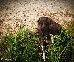 My baby girl Shelby when she was a puppy (JessykaV) Tags: dogs dog summer chocolatelabrador